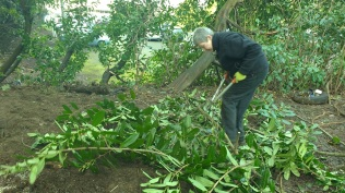 Volunteer, Sue, working at the Gardens.